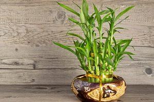 нюансы выращивания комнатного бамбука