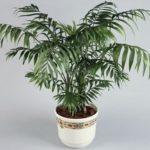 Бамбуковая пальма Хамедорея: уход в домашних условиях, фото цветкового растения, полезные рекомендации цветоводам