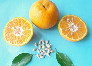 правила выращивания апельсина из косточки