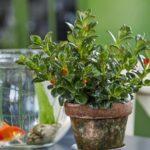 Нематантус или Гипоцирта: уход в домашних условиях, фото полукустарникового эпифитного растения с необычными цветочками