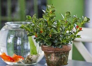 нюансы выращивания Гипоцирты в домашних условиях
