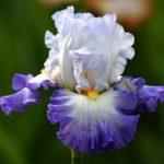 «Петушки» или Ирисы: посадка и уход в открытом грунте, особенности выращивания неприхотливой садовой культуры с оригинальным цветением
