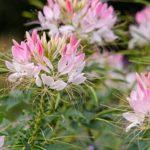 Растение — паучок или Клеома: посадка и уход, фото, когда сеять семена, как поливать и размножать цветочную культуру
