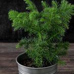 Хвойное комнатное растение Араукария: уход в домашних условиях, выращивание экзотического деревца, похожего не ель