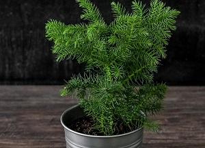 советы по выращиванию Араукарии в доме