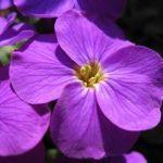 Аубреция или Обриета: посадка и уход в открытом грунте, фото стелящегося многолетника, создание из растения живого цветущего ковра