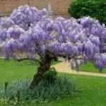 Вистерия или Глициния: уход и выращивание роскошной лианы на участке с разнообразными оттенками и цветами