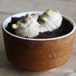 Как вырастить в домашних условиях имбирь, как выбрать корень для посадки и как ухаживать за растением
