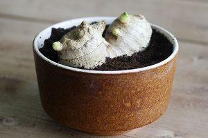 правила выращивания имбиря из корня