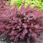 Плодовый и декоративный Барбарис: фото кустарника, сортовое разнообразие, правила выращивания и способы размножения