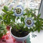 Пассифлора съедобная или Маракуйя: выращивание в домашних условиях вечнозеленой лианы с роскошными цветами и экзотическими плодами