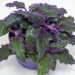Травянистое ампельное растение Гинура: уход в домашних условиях, фото цветочной культуры с красивой фиолетовой листвой