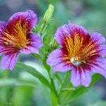 Роскошный садовый цветок Сальпиглоссис: выращивание из семян, когда сажать на рассаду и в открытый грунт, как ухаживать за растением