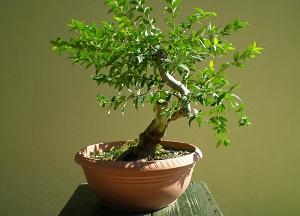 особенности выращивания миртового дерева в доме