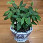 Экзотический фрукт Глаз дракона или Лонган: выращивание в домашних условиях из косточки, возможность получения плодов