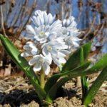 «Карликовый гиацинт» или Пушкиния: посадка и уход в открытом грунте, фото раннецветущего декоративного цветка небольшого размера