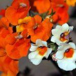 Красивый цветок с множественными бутончиками на пышных кустиках Немезия: посадка и уход в открытом грунте, фото, применение для декорирования сада и участка