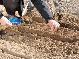 скабиоза выращивание из семян когда сажать