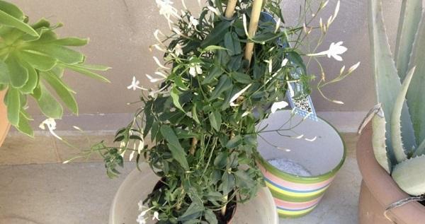жасмин цветок комнатный уход