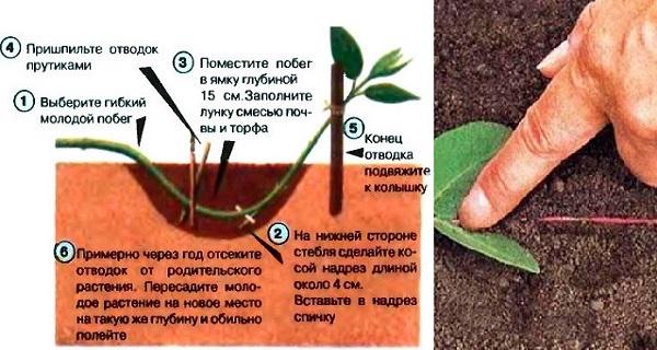 барбарис кустарник полезные свойства