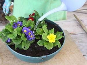 как выращивать примулу в домашних условиях