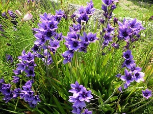 цветок бабиана фото