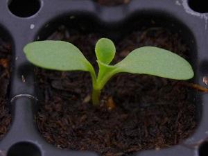 посев скабиозы на рассаду