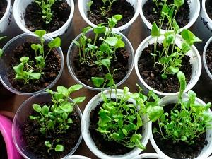 обриета выращивание из семян