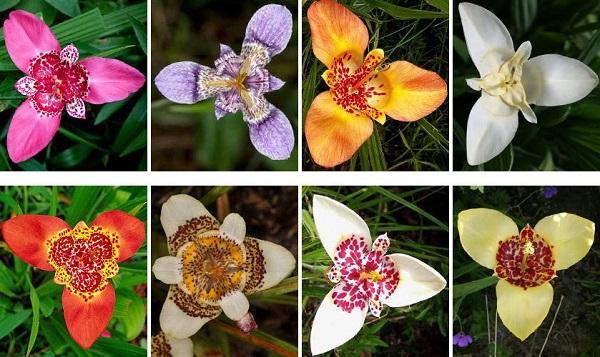 цветок тигридия