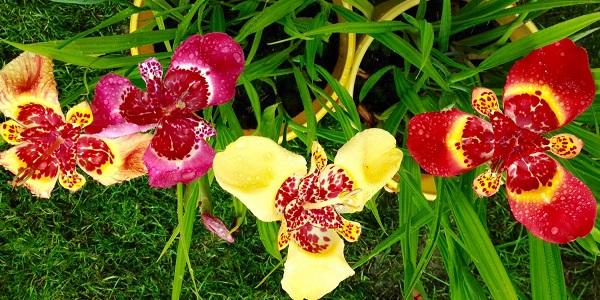 тигридия фото цветов