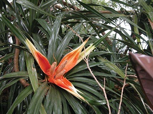 цветок панданус уход в домашних условиях
