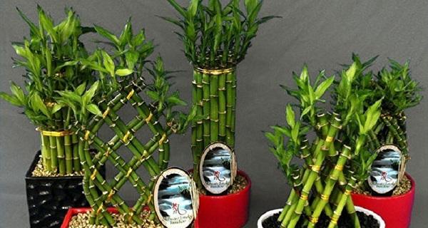 комнатный бамбук фото