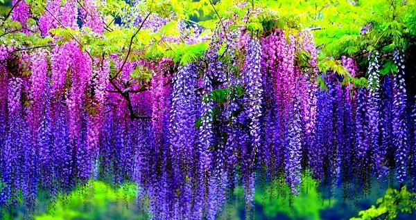 глициния фото цветов