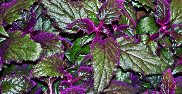 гинура комнатные растения