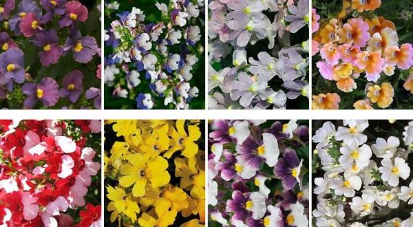 цветы немезия посадка и уход фото