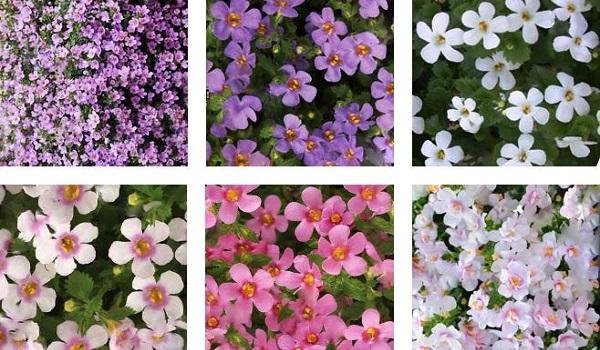 цветы бакопа
