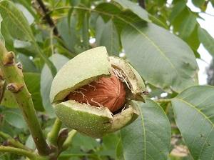 грецкий орех выращивание
