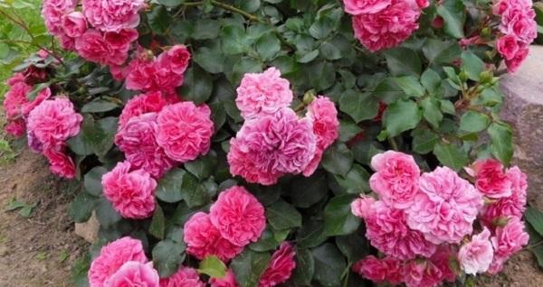 почвопокровные розы цветущие все лето для подмосковья
