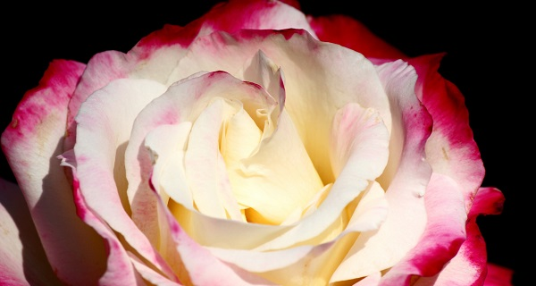 розы флорибунда сорта