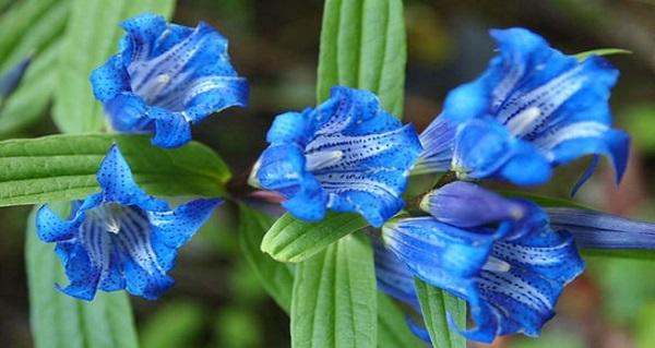 горечавка фото цветов