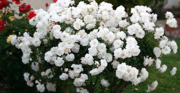 розы флорибунда сорта фото описание