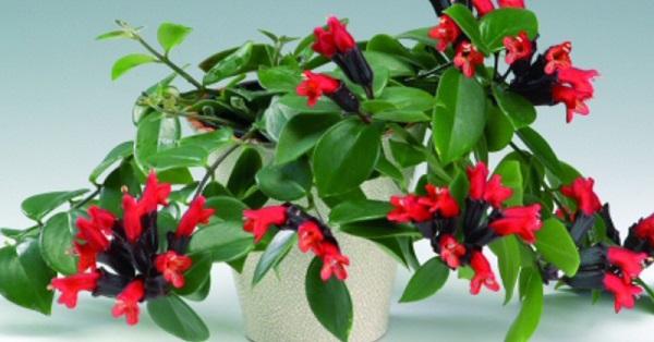 комнатный цветок цветет красными цветами