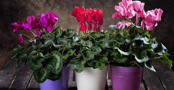 комнатные цветы цветущие круглый год неприхотливые