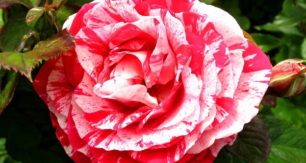 розы флорибунда лучшие сорта для подмосковья