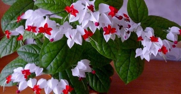 комнатный цветок цветет белыми цветами