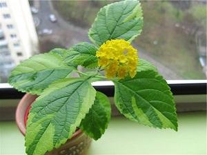 лантана растение