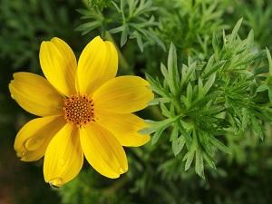 цветок биденс