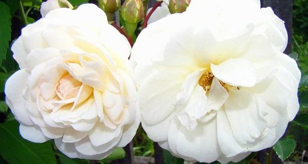 роза флорибунда описание
