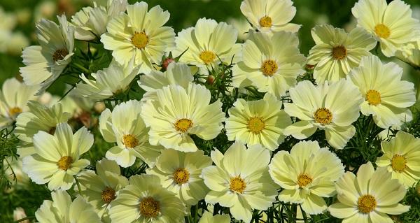 космея цветок посадка и уход