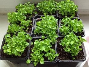 лобелия выращивание из семян когда сажать